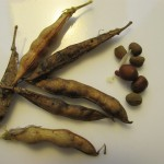 Earth Pea seed and pods